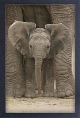 Small Frame Art Baby Elephant Big Ears