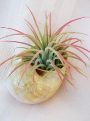 Air Plant Glued in Shell