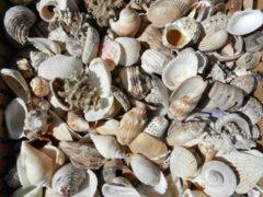 Small Decoration Shells